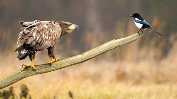 Pero-el-pequeño-no-se-incomoda-con-la-expresión-de-disgusto-del-águila-que-podría-perfectamente-liquidar-al-pequeño-invasor.-El-caso-ocurrió-en-Polonia.-Foto-Barcroft-MediaGetty-Images